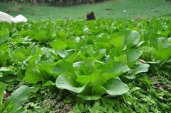 зеленый цвет капусты Стоковая Фотография RF