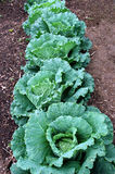 зеленый цвет капусты Стоковые Изображения