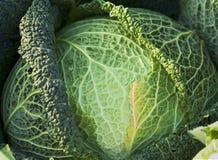 зеленый цвет капусты Стоковое Фото