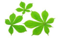 зеленый цвет каштана предпосылки выходит лето 3 Стоковое Изображение