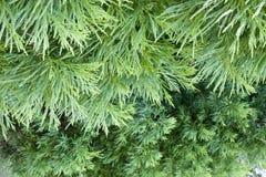 зеленый цвет кипариса Стоковые Фото