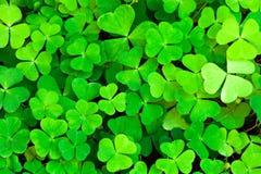 зеленый цвет клевера предпосылки Стоковое Фото