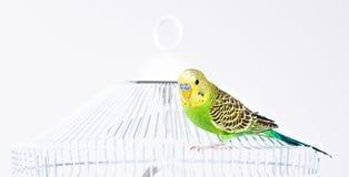 зеленый цвет клетки budgie его усаживание Стоковые Изображения