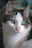 зеленый цвет кота eyed концом вверх Стоковые Изображения RF