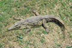 зеленый цвет крокодила стоковое фото rf