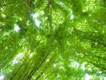 зеленый цвет кроны Стоковые Изображения