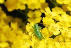зеленый цвет кузнечика Стоковое Изображение
