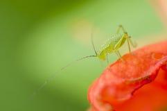 зеленый цвет кузнечика Стоковое Фото