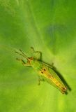 зеленый цвет кузнечика Стоковые Изображения RF