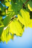 зеленый цвет листает солнечний свет Стоковое фото RF
