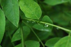 зеленый цвет листает raindrops Стоковое Изображение RF