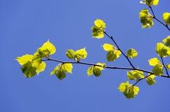 зеленый цвет листва Стоковая Фотография