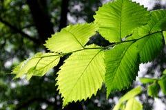 зеленый цвет листва Стоковые Фотографии RF