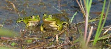 зеленый цвет лягушек Стоковая Фотография