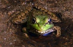 зеленый цвет лягушки смотря нас Стоковые Изображения