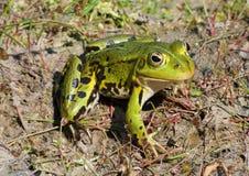 зеленый цвет лягушки Стоковое Изображение