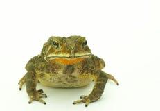 зеленый цвет лягушки Стоковые Фото