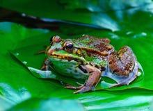 зеленый цвет лягушки стоковые изображения