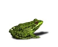 зеленый цвет лягушки стоковая фотография