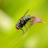 зеленый цвет мухы бутылки Стоковое Изображение
