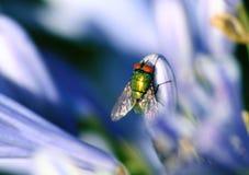 зеленый цвет мухы Стоковая Фотография RF