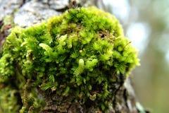 Зеленый цвет мха в природе на дереве Стоковое Изображение RF
