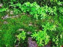 Зеленый цвет мха который влажн Стоковое Изображение