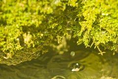 зеленый цвет над водой завода Стоковое Изображение RF