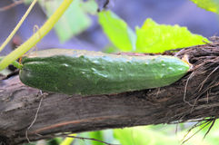 зеленый цвет огурца Стоковые Фотографии RF