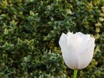 зеленый цвет окаимленный предпосылкой выходит белизна тюльпана Стоковые Изображения RF