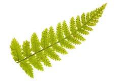 зеленый цвет папоротника ветви одиночный Стоковые Изображения RF