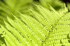 зеленый цвет папоротника ветви свежий Стоковые Фото