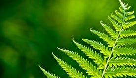 зеленый цвет папоротника ветви Стоковые Изображения RF