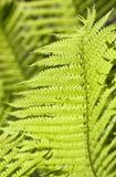 зеленый цвет папоротника выходит свет Стоковое Изображение