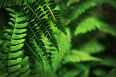 зеленый цвет папоротника гусеницы Стоковая Фотография RF