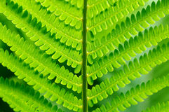 зеленый цвет папоротника детали Стоковое Фото
