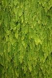 зеленый цвет папоротника предпосылки Стоковое Изображение RF
