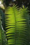 зеленый цвет папоротника стоковая фотография rf