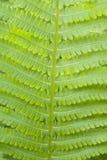 зеленый цвет папоротника Стоковые Изображения