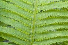 зеленый цвет папоротника Стоковое Изображение RF