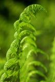 зеленый цвет папоротника Стоковые Фотографии RF