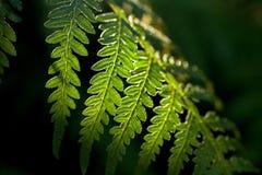 зеленый цвет папоротника Стоковое фото RF