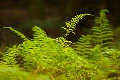 зеленый цвет папоротников Стоковые Фотографии RF