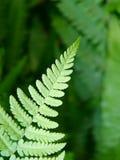 зеленый цвет папоротников Стоковые Фото