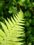 зеленый цвет папоротников Стоковое фото RF