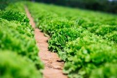 зеленый цвет поля капусты Стоковое Изображение