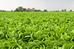 зеленый цвет поля капусты стоковые фото