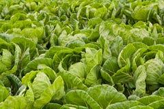 зеленый цвет поля капусты стоковые фотографии rf