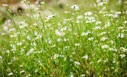 зеленый цвет поля маргаритки стоковые фото