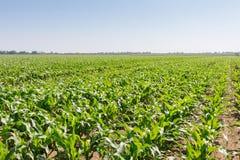 зеленый цвет поля мозоли Зеленая мозоль растущая на поле, голубом небе и Стоковое Изображение RF